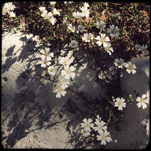 fleursblanchestadou_effected.png